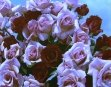 May Wedding - Roses - Colour